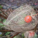 ფიზალისის კენკრა / inca berry, 150g