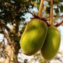 aduna_baobab_hanging_fruit